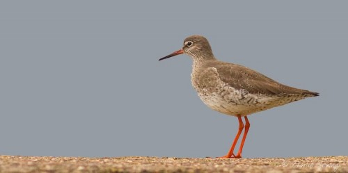 Redshank on the harbour wall by Charlie Fleming