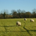 Courtlands sheep graze